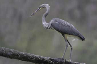 White-bellied_Heron_tour_15day