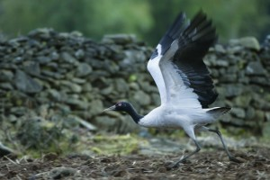 Bhutan black-necked_crane